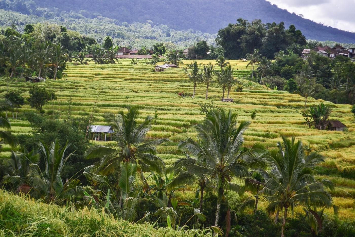 Красивые рисовые террасы на Бали